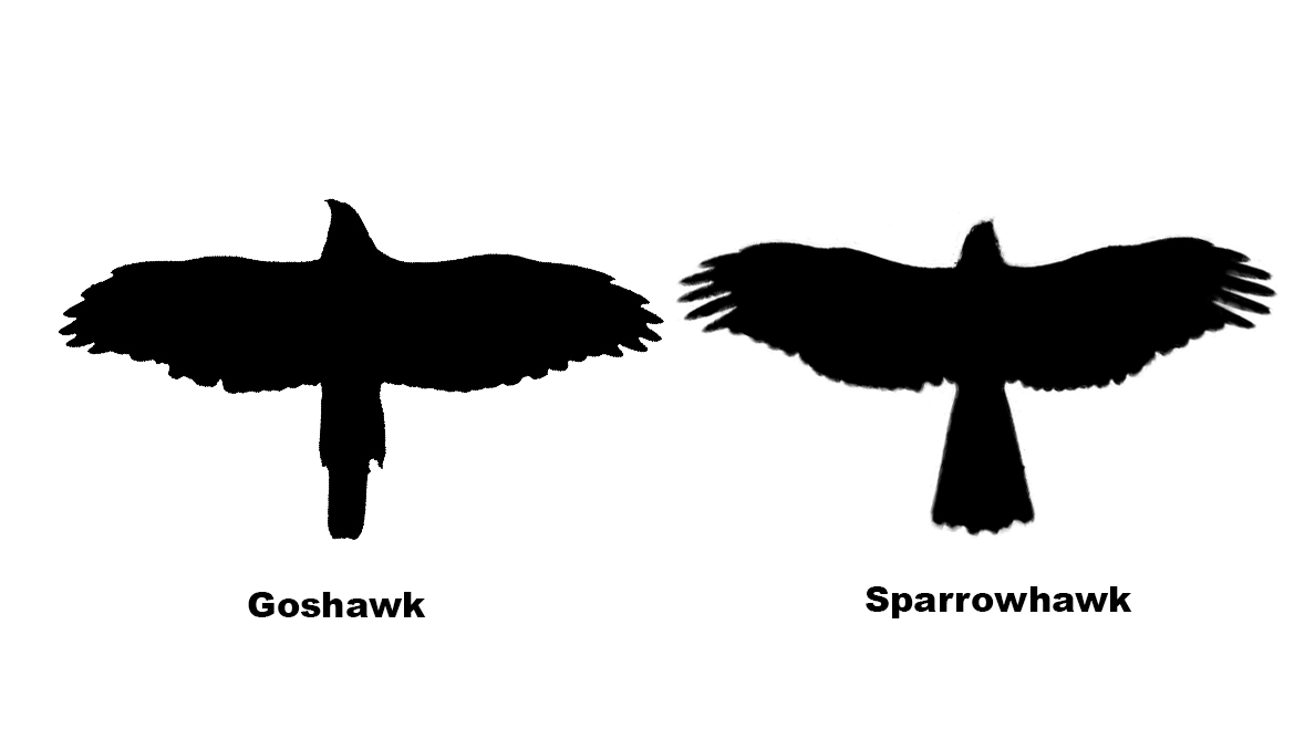 sparrowhawk silhouette silhouette hawk at getdrawingscom free for personal use sparrowhawk silhouette