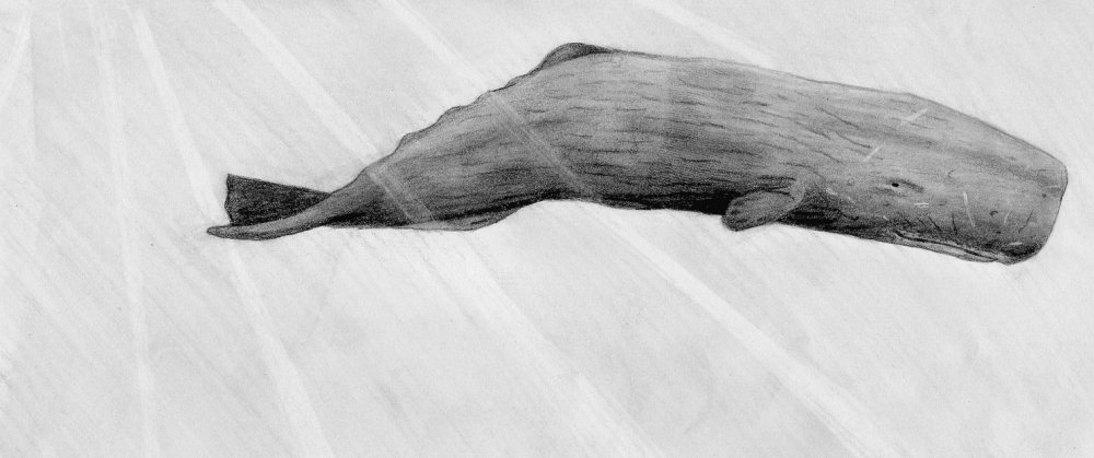 sperm whale sketch sperm whale line drawing at getdrawings free download sperm whale sketch