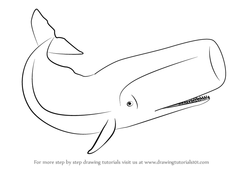 sperm whale sketch sperm whale physeter macrocephalus line art and full whale sperm sketch