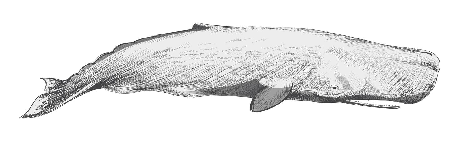 sperm whale sketch whale drawings engine problems ocean sounds ev sketch whale sperm