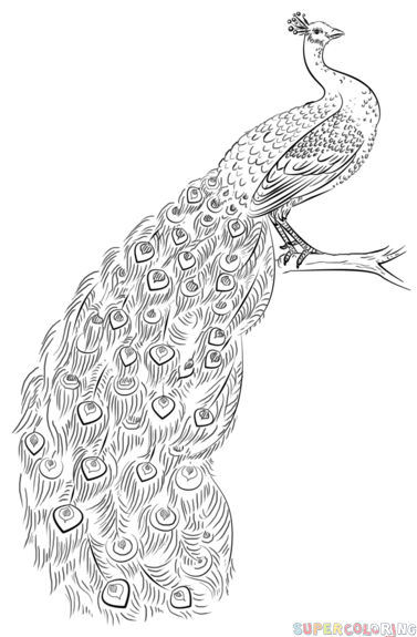 step by step drawing of peacock how to draw a peacock step by step drawing tutorials step drawing of by step peacock