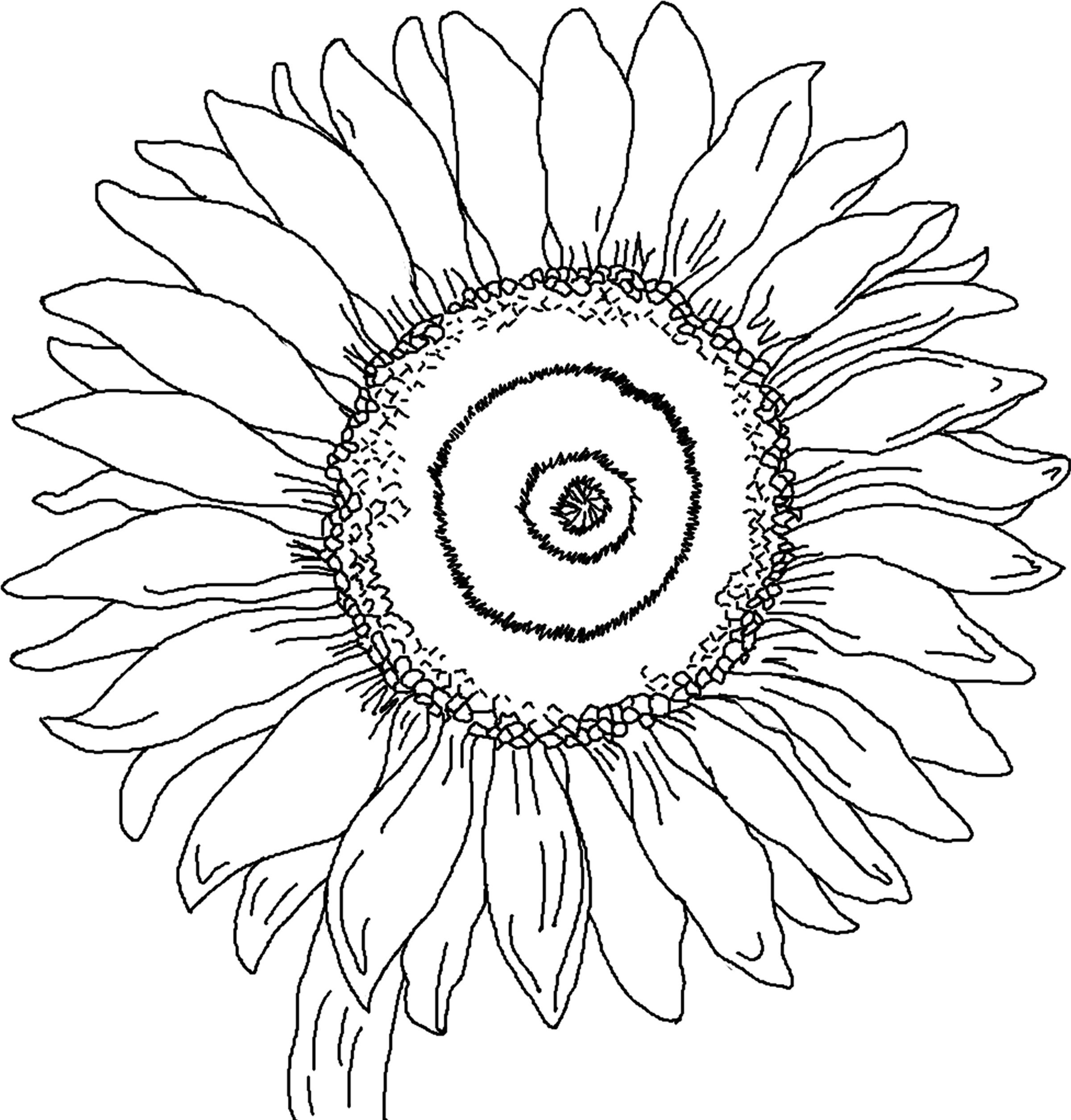 sunflower coloring page sunflower drawing color at getdrawings free download coloring sunflower page