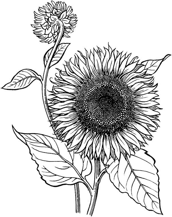 sunflower coloring pages to print sunflower coloring page at getdrawings free download coloring to pages sunflower print