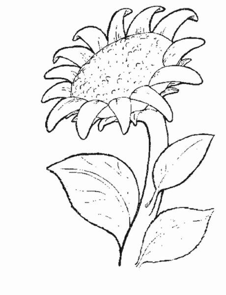 sunflower coloring sunflower coloring pages to download and print for free sunflower coloring 1 1
