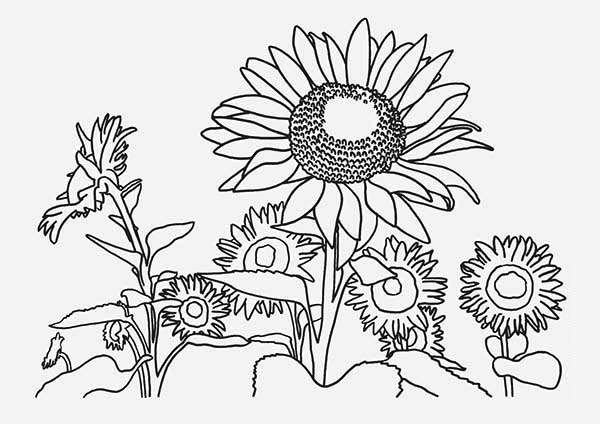 sunflower coloring sunflower farm coloring page sunflower farm coloring page coloring sunflower