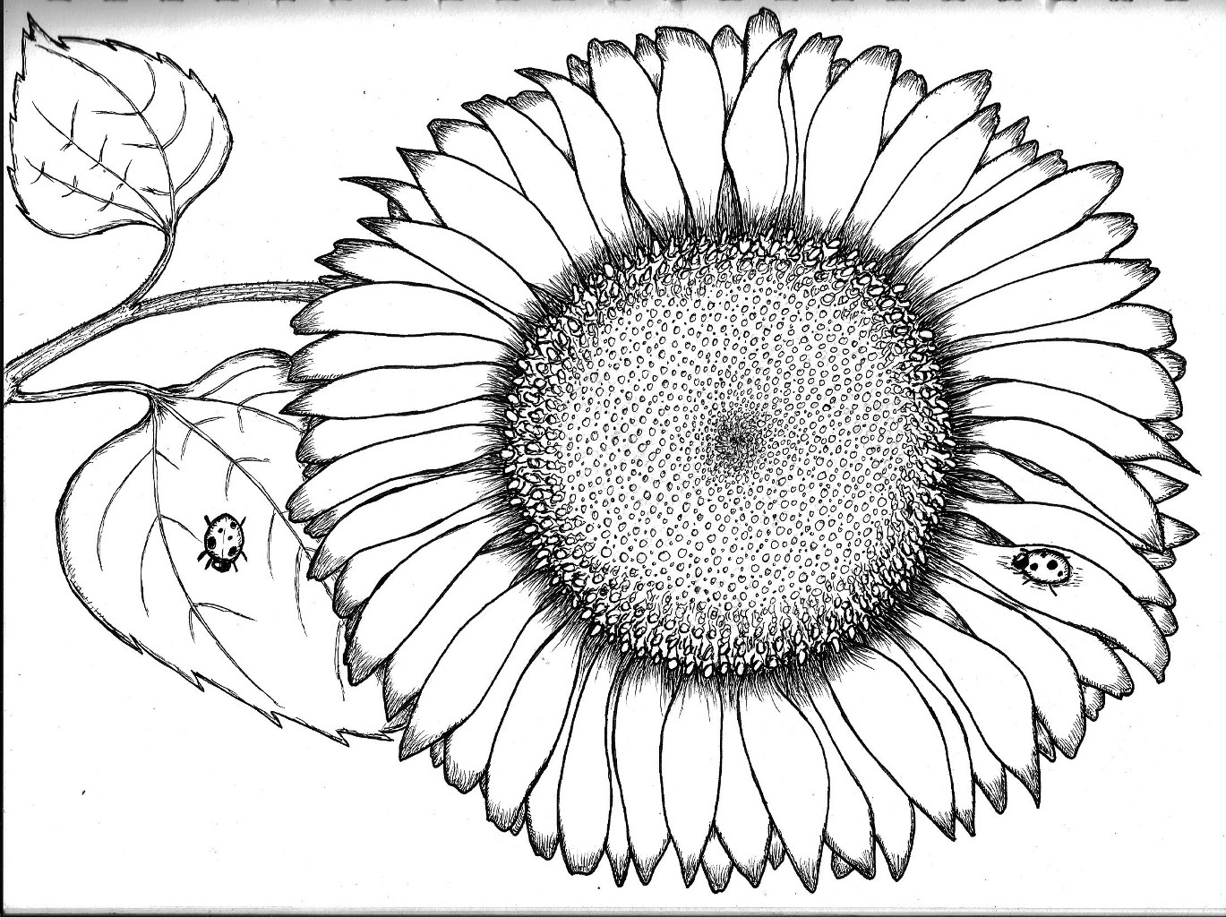 sunflower coloring top 10 sunflowers coloring pages pictures big collection sunflower coloring