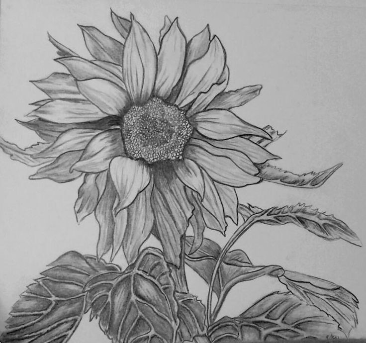 sunflower sketch best sunflower drawings images free vector art images sunflower sketch