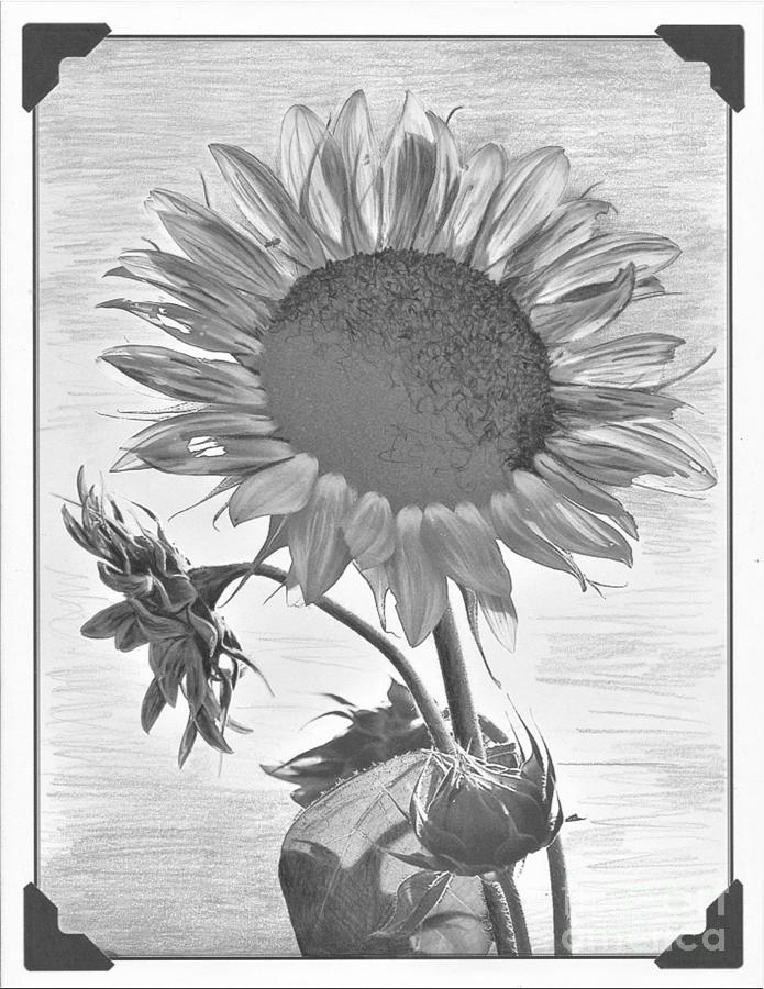 sunflower sketch simple sunflower drawing at getdrawings free download sketch sunflower
