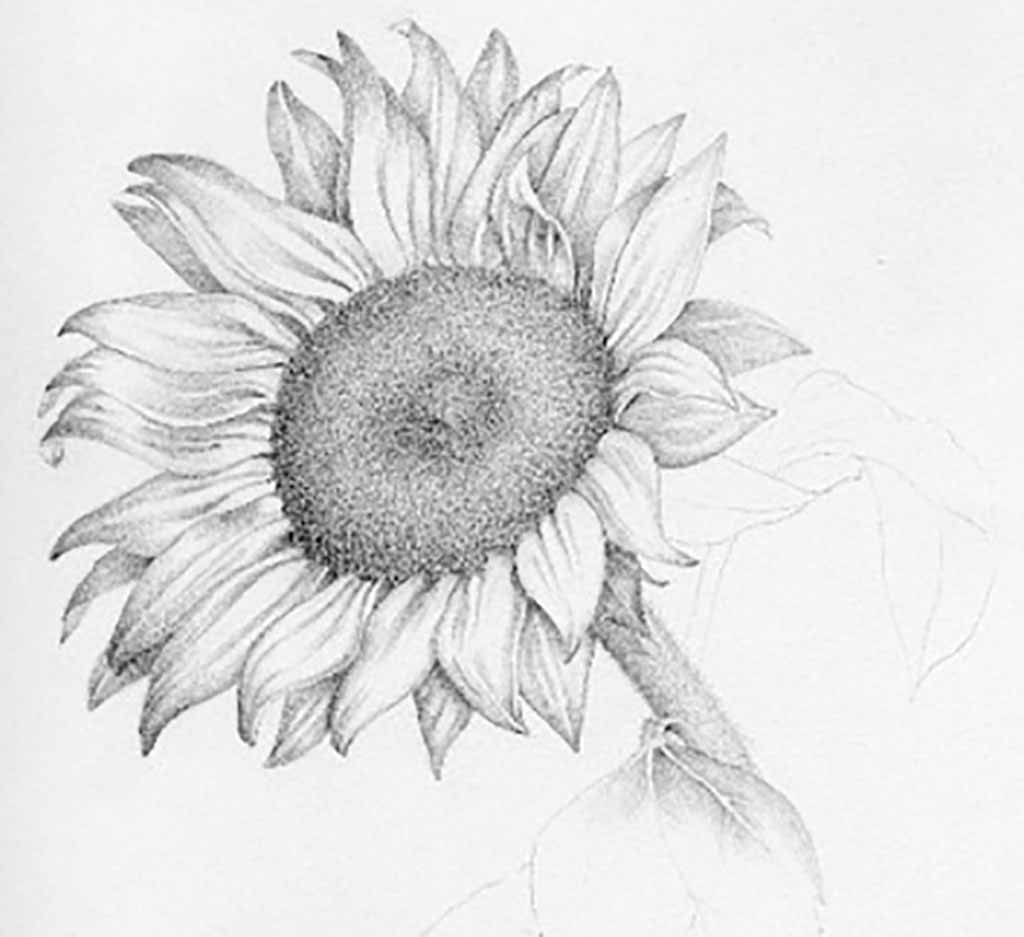 sunflower sketch sunflower drawing black and white at paintingvalleycom sunflower sketch