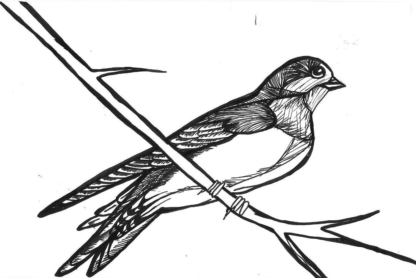 swallow bird drawing details swallow drawings google search drawings birds swallow bird drawing