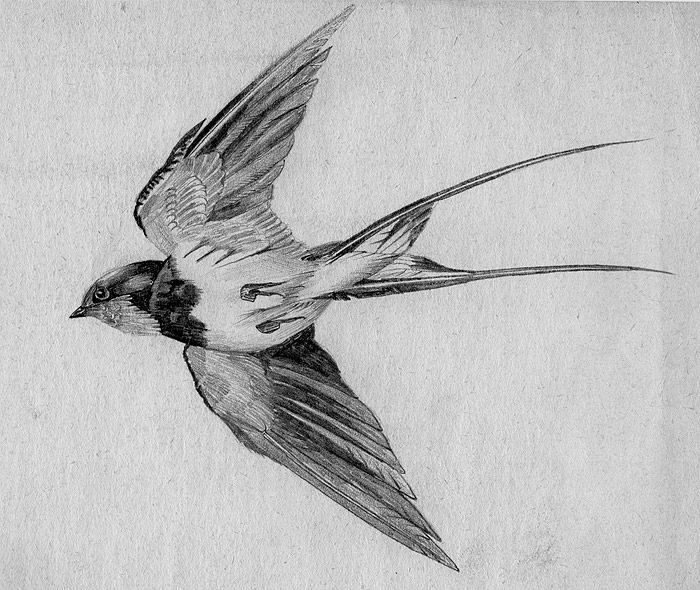 swallow bird drawing swallow bird drawing free download on clipartmag drawing swallow bird