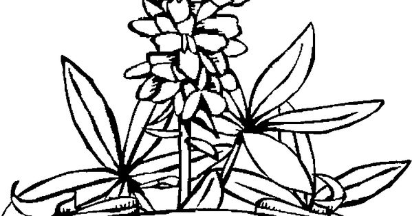 texas state flower texas state flower coloring page fresh crista forest s texas flower state