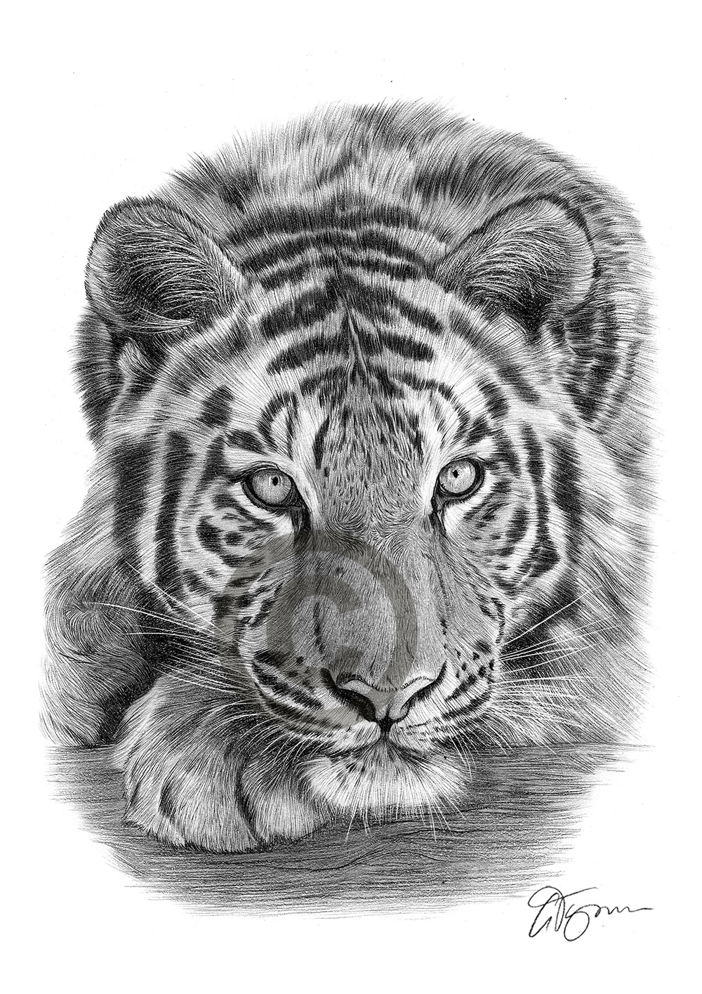 tiger drawing 12 top tiger tattoo drawings of 2020 petpress drawing tiger