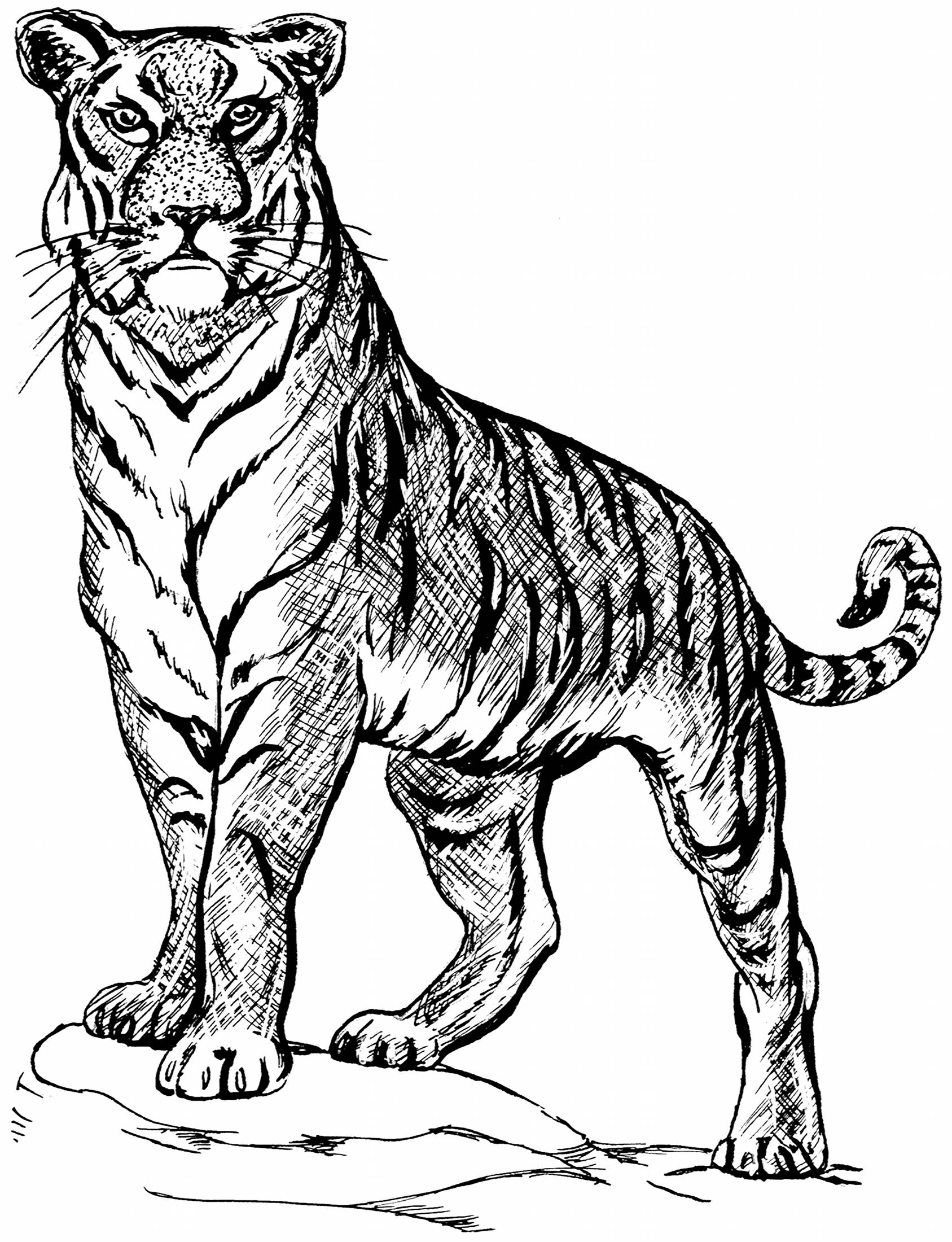 tiger drawing 19 animal drawing templates free psd ai eps format tiger drawing