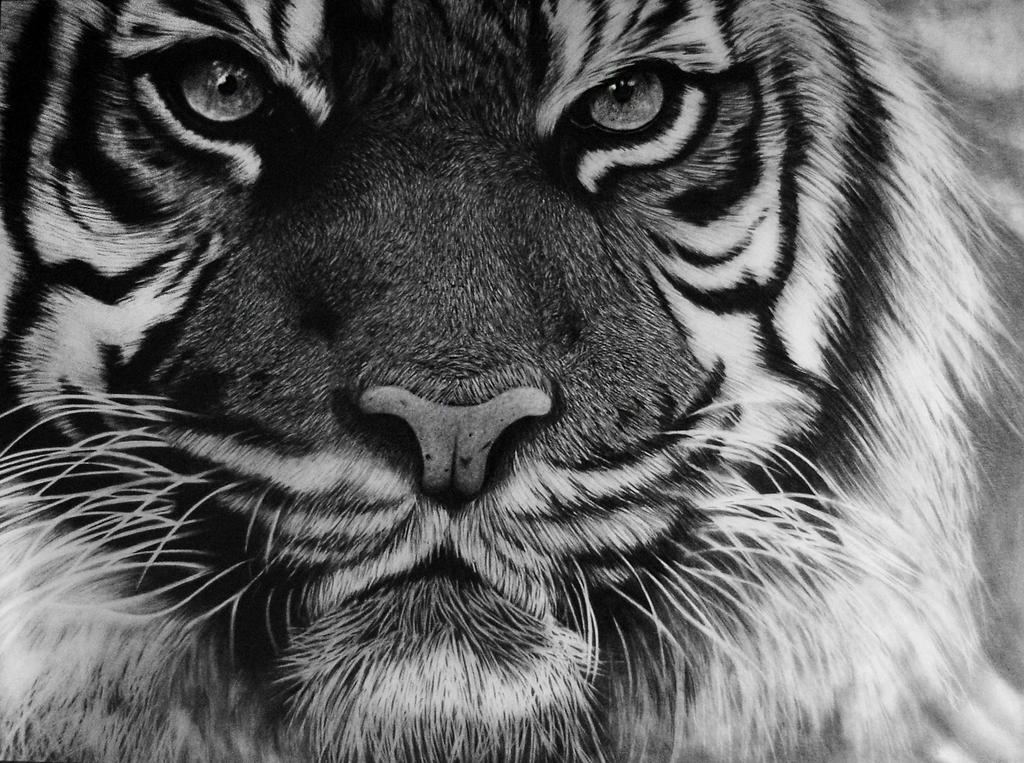 tiger drawing 19 animal drawings free premium templates drawing tiger