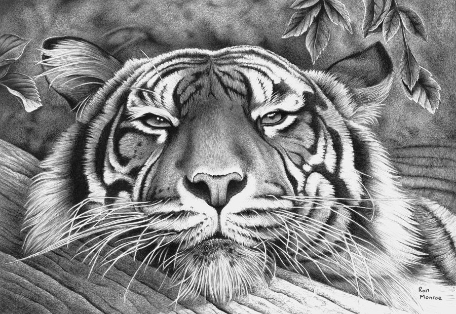 tiger drawing bengal tiger pencil drawing art print a3 a4 sizes signed drawing tiger