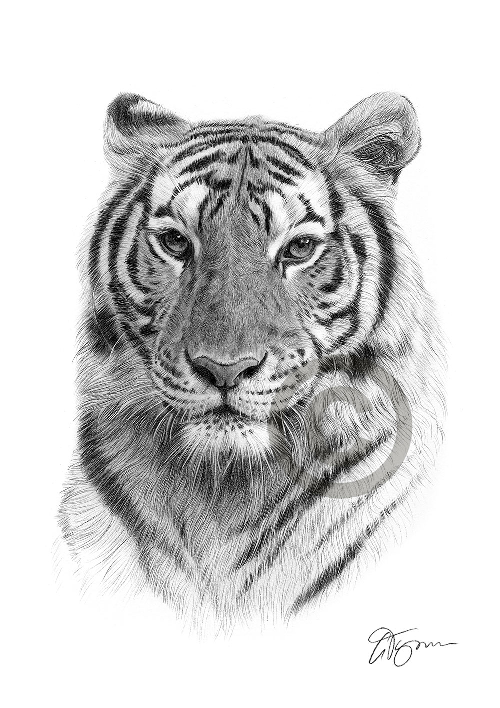 tiger drawing bengal tiger pencil drawing print a3 a4 sizes signed by tiger drawing
