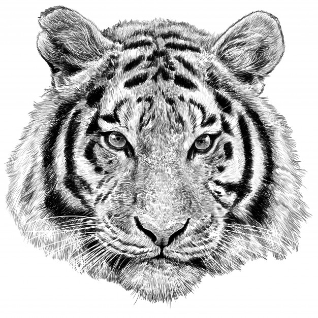 tiger drawing drawing pictures of tigers at getdrawings free download tiger drawing