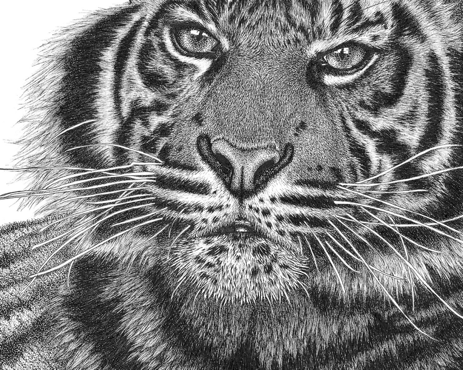 tiger drawing drawing tiger by fernandasabaudo on deviantart drawing tiger