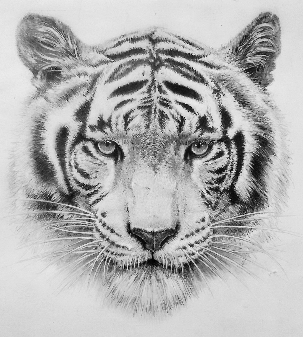 tiger drawing sumatran tiger pencil graphite print a4 a3 signed by tiger drawing