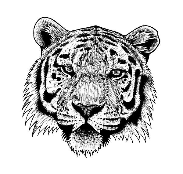 tiger drawing tiger big by amraa on deviantart drawing tiger