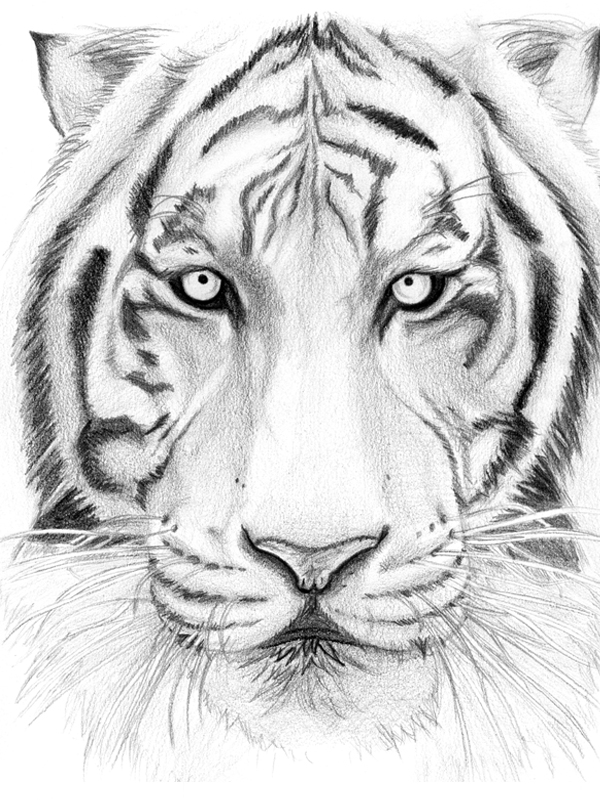 tiger drawing tiger drawing tiger drawing