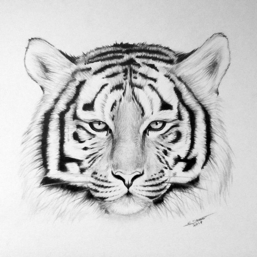 tiger drawing tiger face drawing by jerry winick tiger drawing