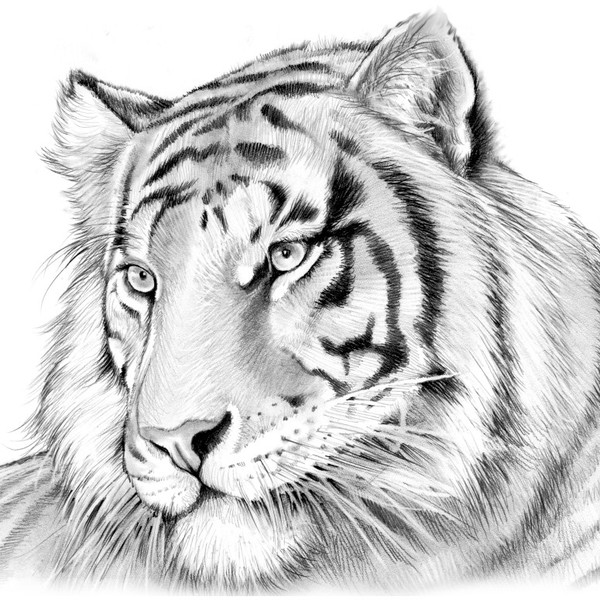 tiger drawing tiger face drawing pencil at getdrawings free download drawing tiger
