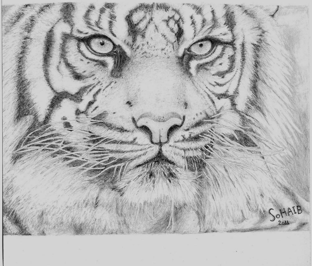 tiger drawing tiger line drawings for coloring drawing tiger