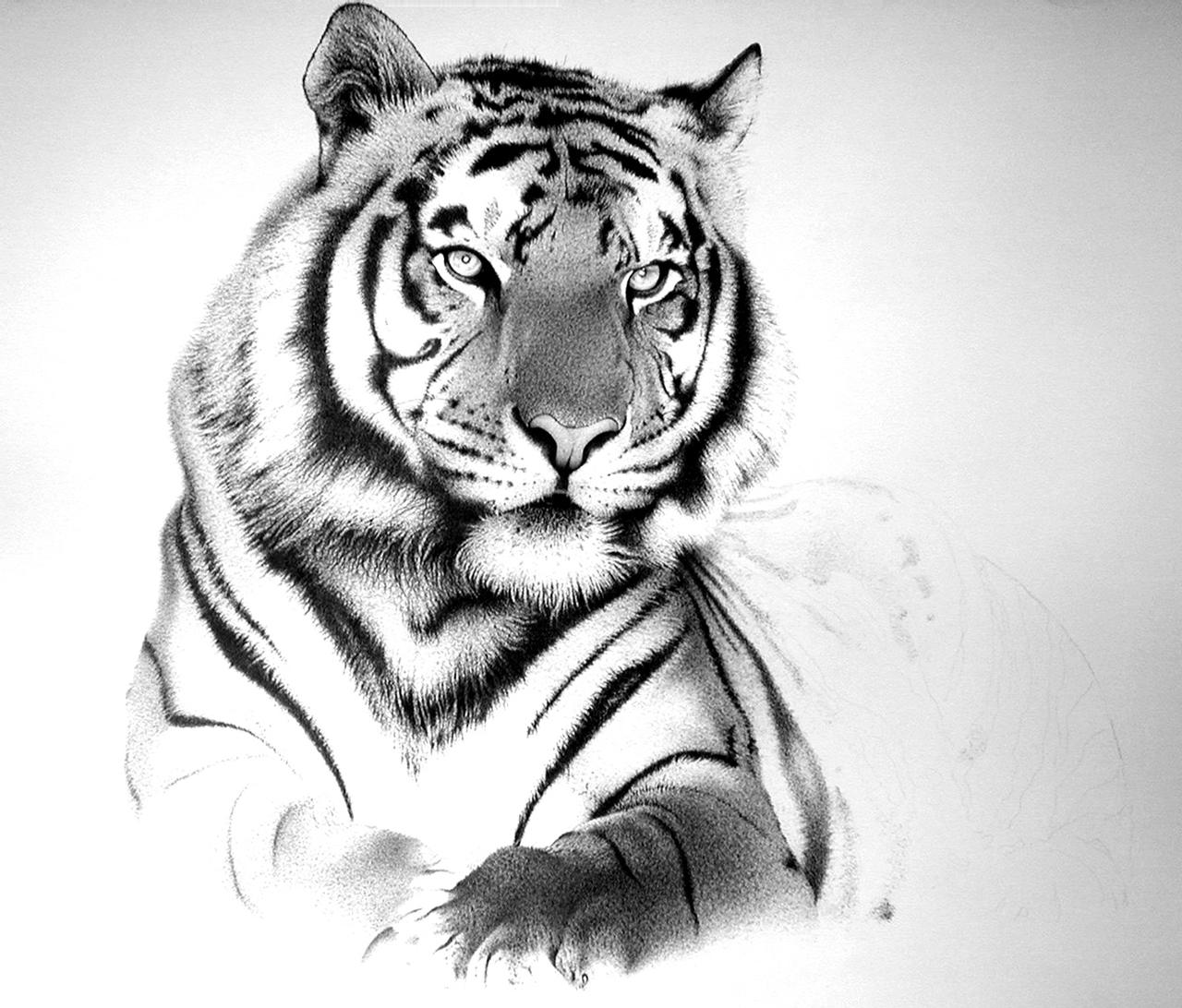 tiger drawing tiger pencil drawing images at paintingvalleycom tiger drawing
