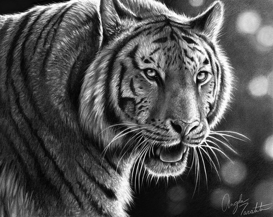 tiger drawing tiger pencil realistic drawing drawing by hanna asfour drawing tiger