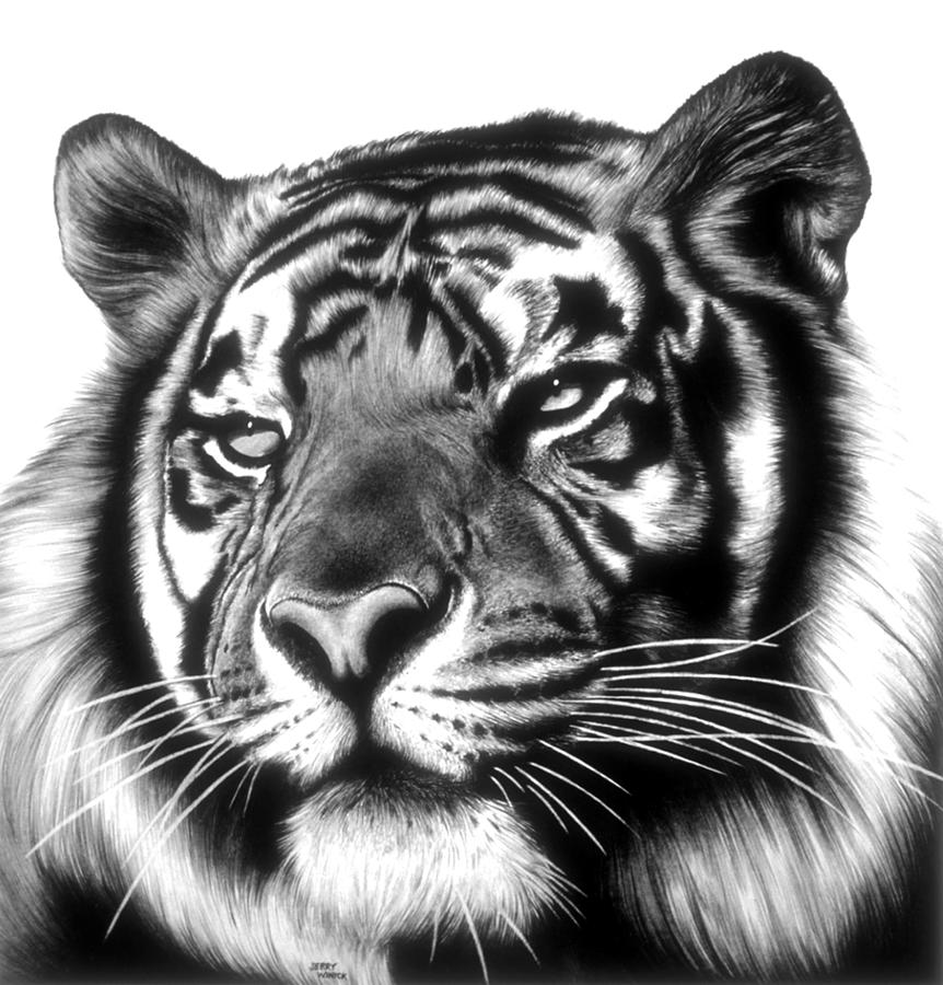 tiger drawing tiger tigers fan art 19955050 fanpop drawing tiger