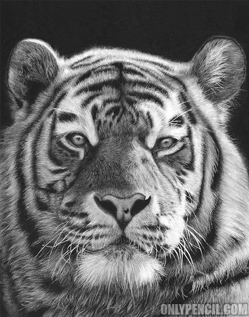 tiger drawing white siberian tiger drawing by cathleen klibanoff drawing tiger