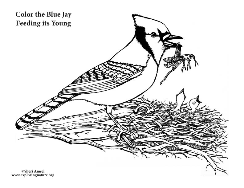 toronto blue jays coloring pages best of toronto blue jays coloring sheet nicoloring blue toronto jays pages coloring