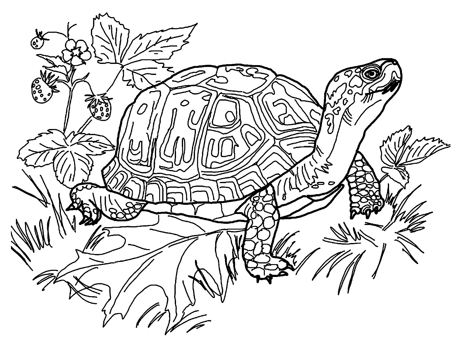 tortoise colouring pictures sea turtle line drawing at getdrawings free download pictures colouring tortoise