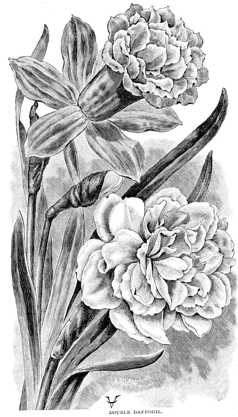 vintage flower coloring pages free vintage plum blossom image drawings graphics fairy vintage pages coloring flower