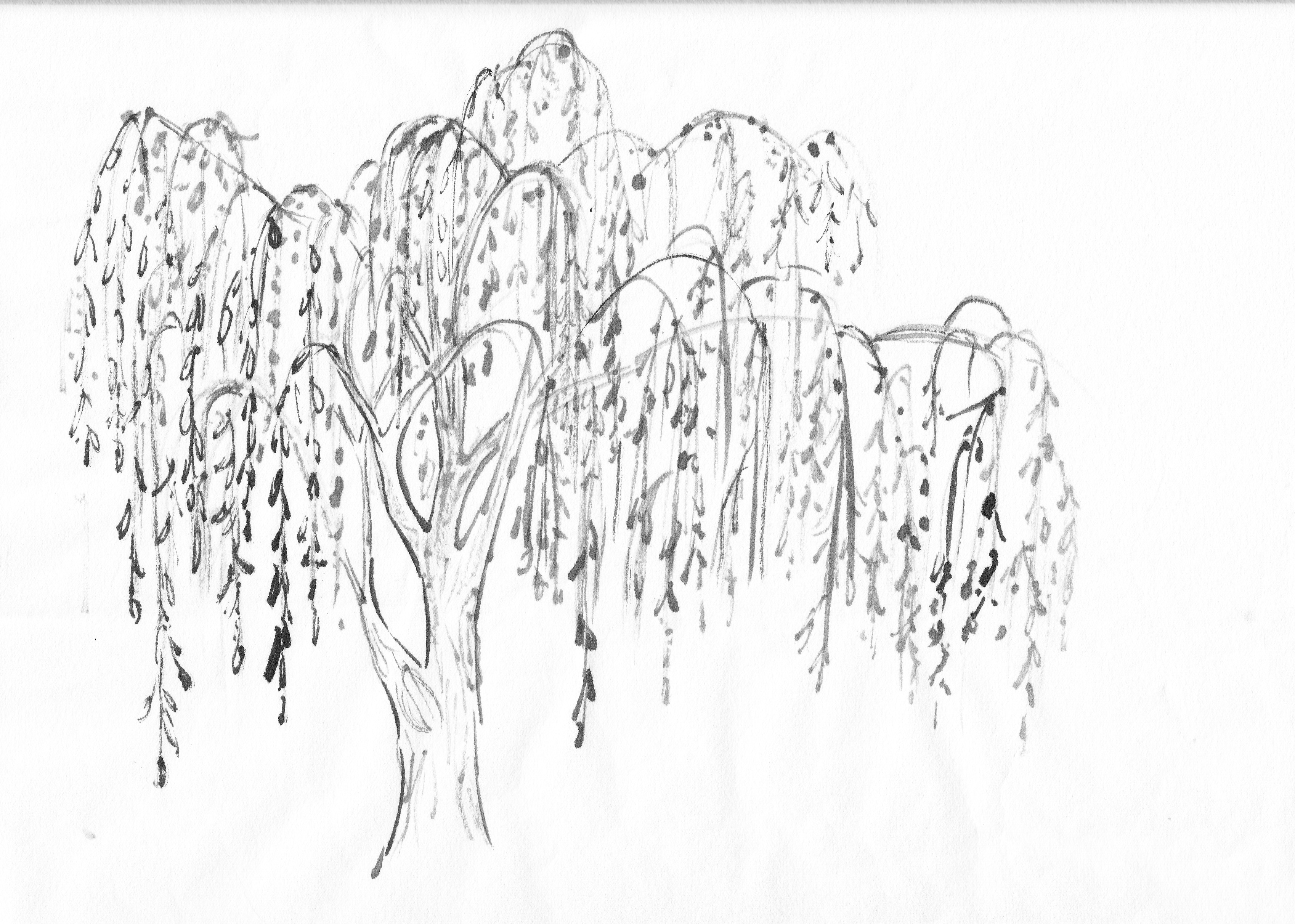 willow tree coloring page download weeping willow coloring for free designlooter coloring willow tree page 1 1