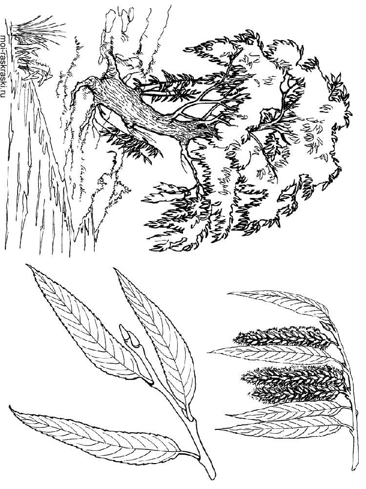 willow tree coloring page willow tree coloring pages for kids free printable willow willow coloring page tree