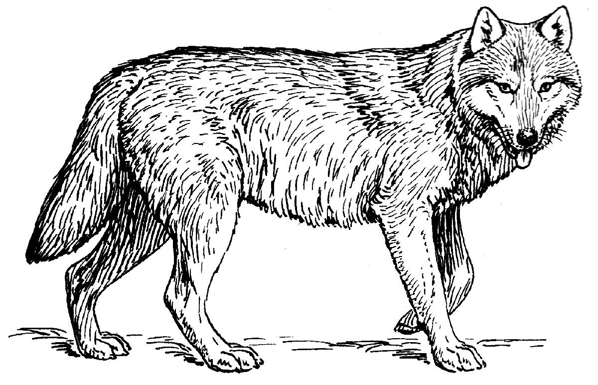 wolf coloring book wolf to color for children wolf kids coloring pages coloring wolf book