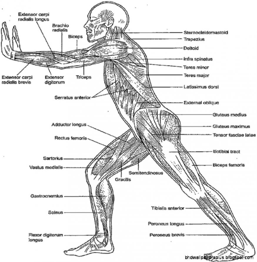 anatomy coloring book free anatomy and physiology coloring pages coloring home coloring anatomy book 1 1