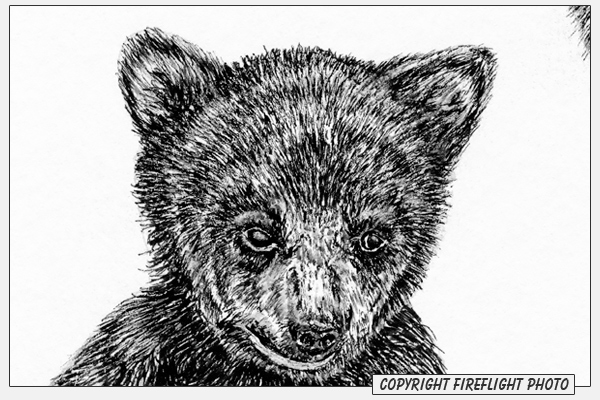 black bear drawings black bear charcoal drawing 01 flickr photo sharing bear black drawings