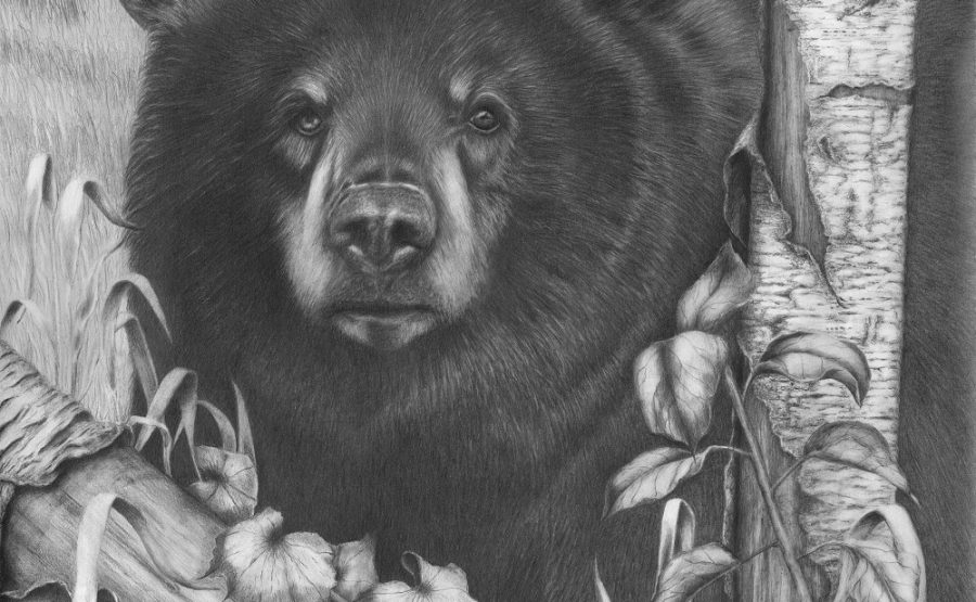 black bear drawings black bear drawing by peggy miller drawings bear black