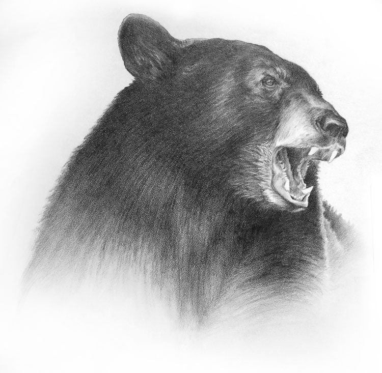 black bear drawings black bear head drawing at getdrawings free download black drawings bear