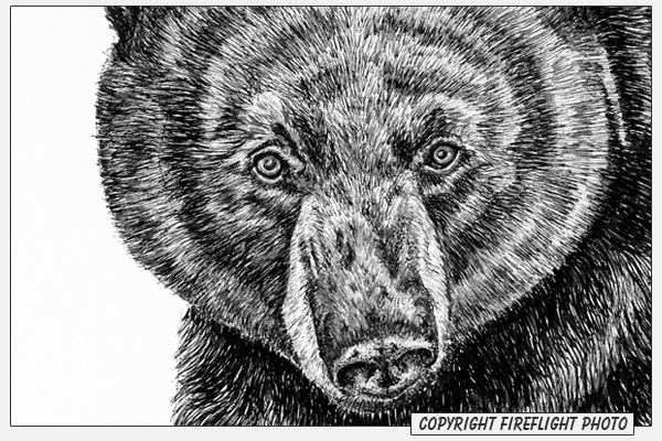 black bear drawings kenny oliver39s art january 2007 drawings black bear