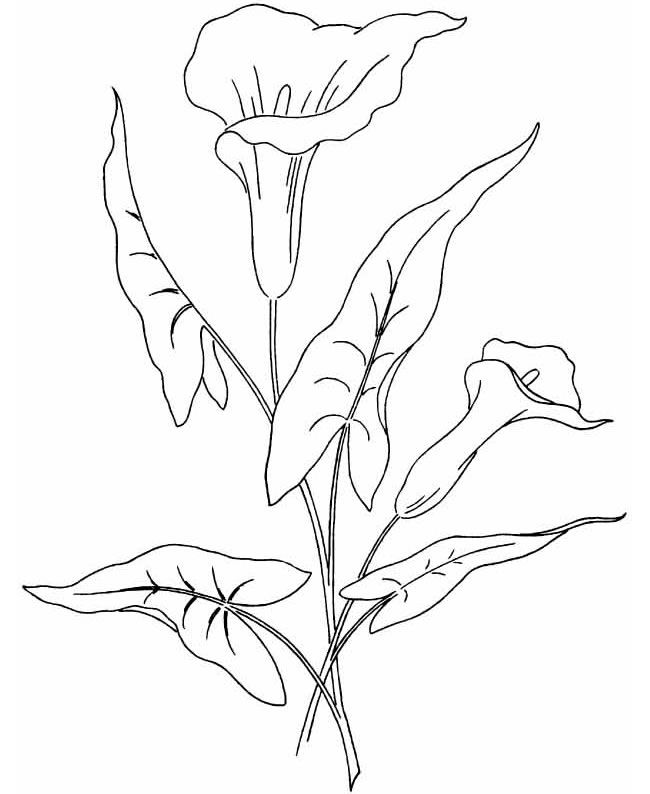calla lily outline lilly outline clipart best outline calla lily