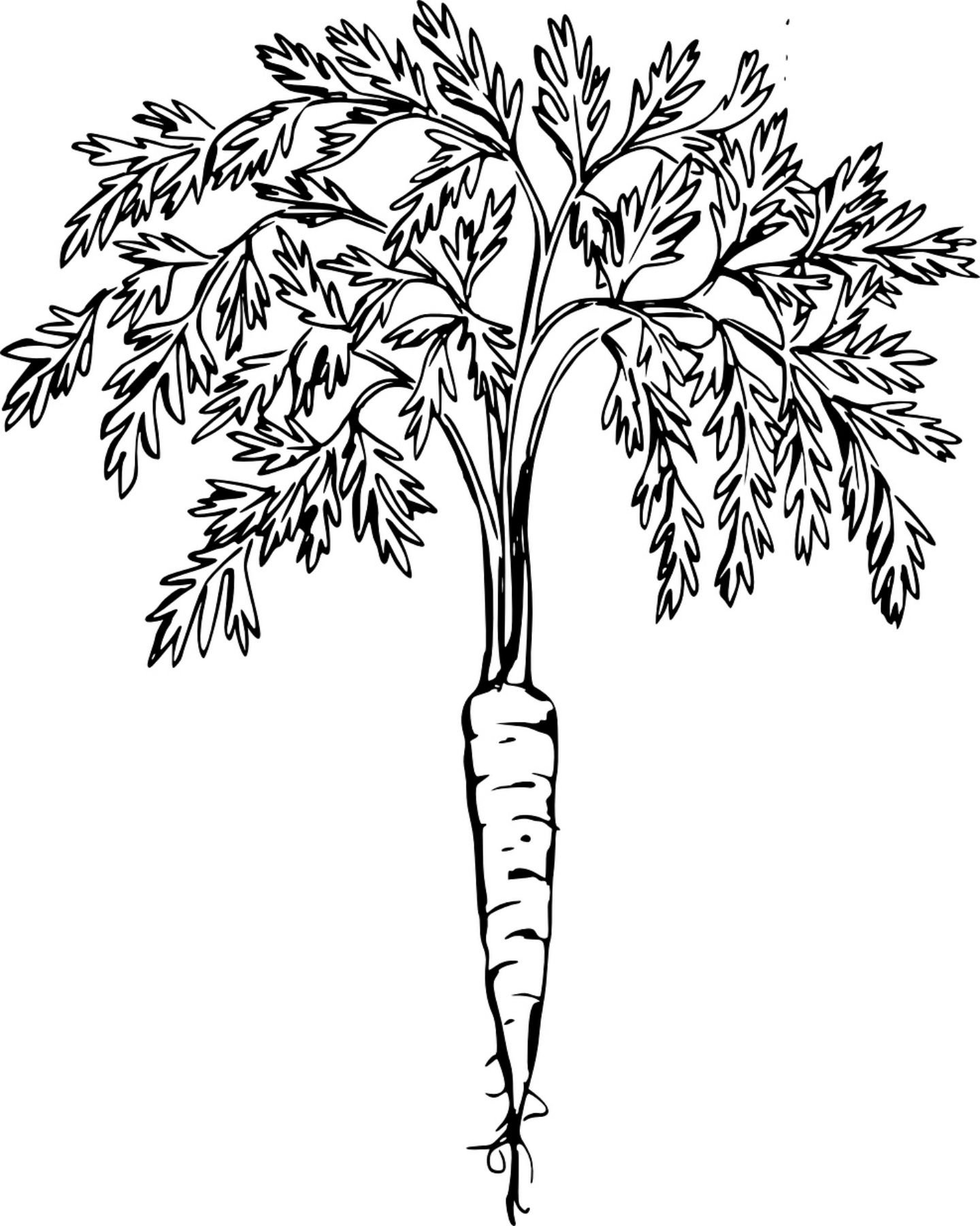 carrot clipart coloring carrot 2 coloring page free printable coloring pages carrot clipart coloring