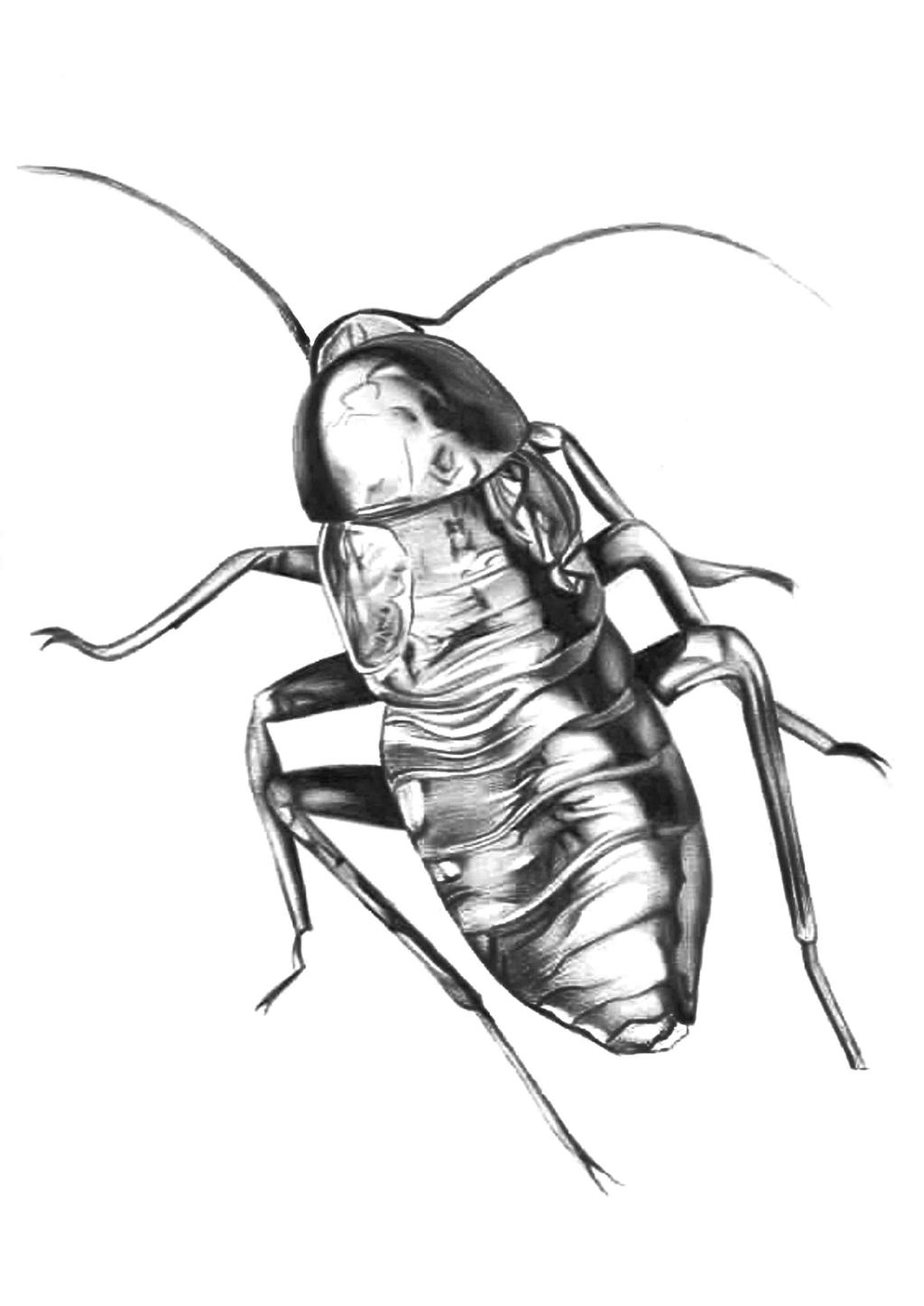 cockroach drawing cockroach clipart etc cockroach drawing