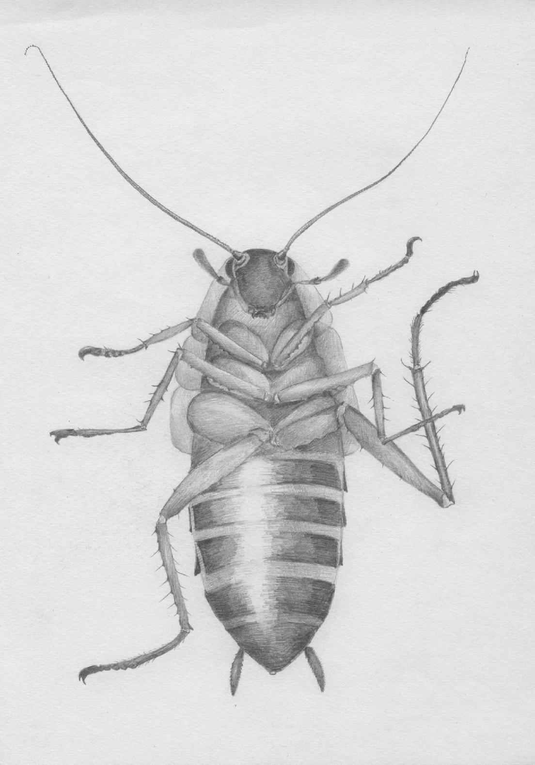 cockroach drawing cockroach cockroaches insect pest drawing cockroach