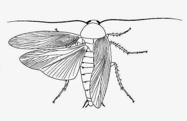 cockroach drawing sunbeamflowers animals pencil outline sketch drawing cockroach