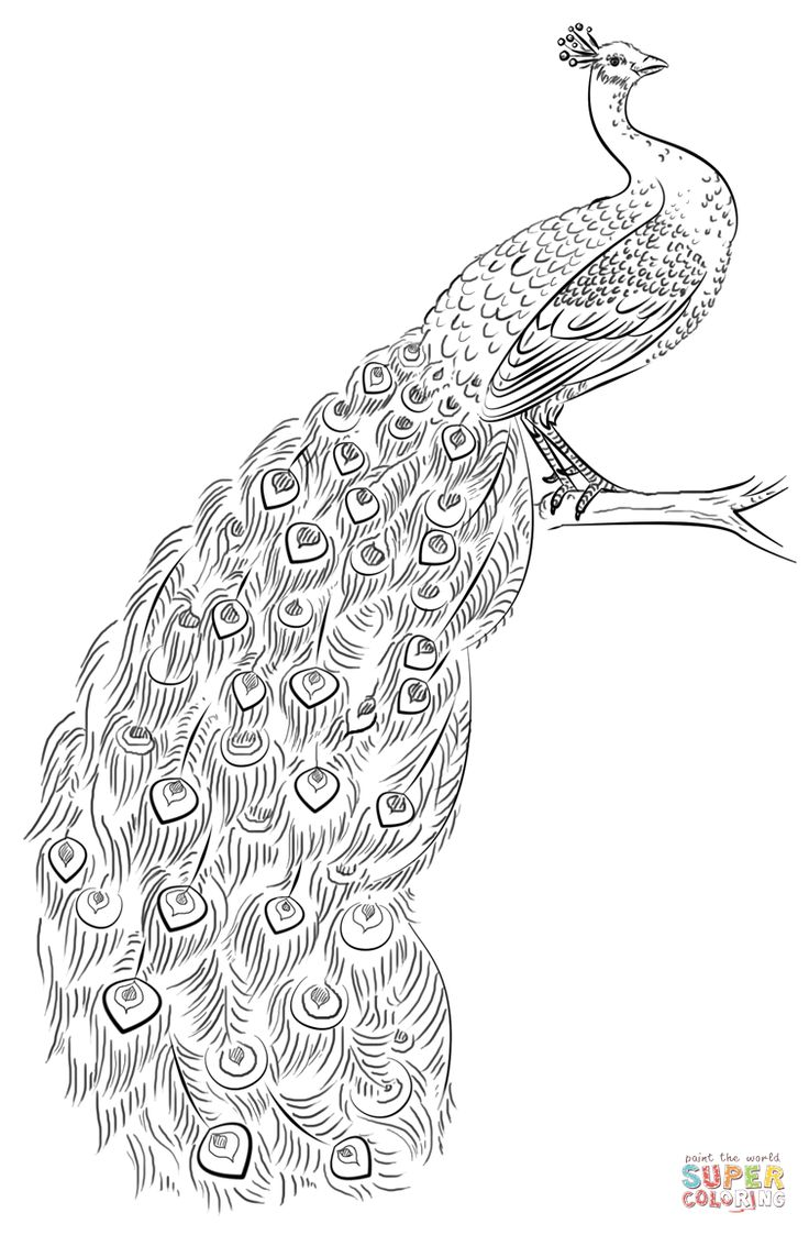 coloring outline image of peacock peacock coloring page free printable coloring pages coloring of outline image peacock